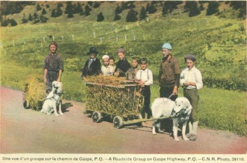 Retro vintage postcard: Two working dogs pulling hay carts   A roadside group on Gaspe Highway, P.Q.   Traditional Quebec Dog Carts