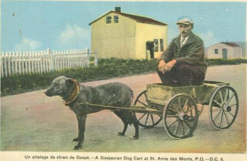 Retro Vintage postcard: Gentleman sits in a a Gaspesian Dog Cart at St. Anne des Monts, P.Q. | Traditional Quebec Dog Carts