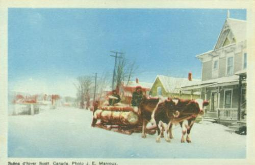Vintage postcard of farm oxen pulling a heavy sled loaded with very large logs